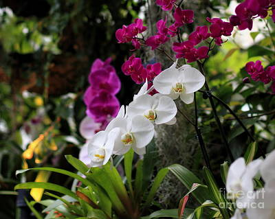 Photograph - White Phalaenopsis Orchids by Angela Rath