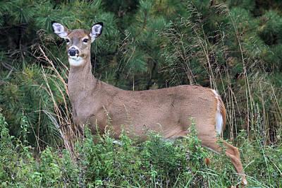 Photograph - White Tailed Deer Calverton New York by Bob Savage