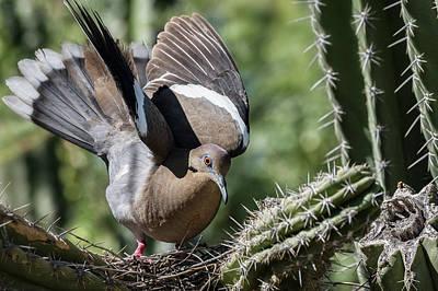 Photograph - White-winged Dove  by Saija Lehtonen