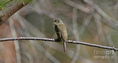 Brown Photograph - Willow Flycatcher by Gary Wing