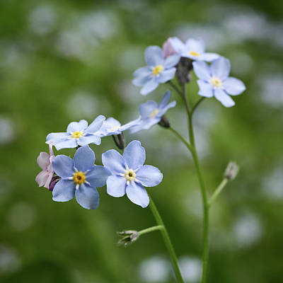 Photograph - Wood Forget Me Not by Jouko Lehto