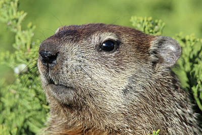 Woodchuck Calverton New York Art Print