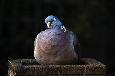 Photograph - Woodpigeon by Chris Day