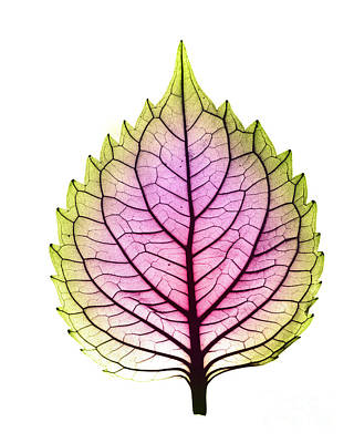 Photograph - X-ray Of Coleus Leaf by Bert Myers