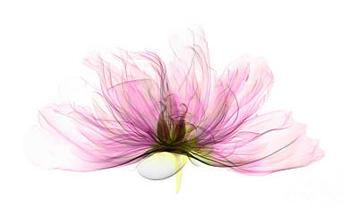 Photograph - X-ray Of Peony Flower by Ted Kinsman
