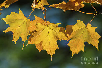 Photograph - 3 Yellow Maple Leaves by Cheryl Baxter