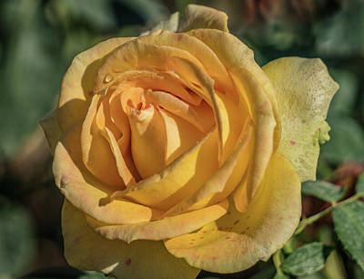 Photograph - Yellow Rose by Jane Luxton