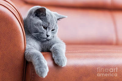Smiling Photograph - Young Cute Cat Resting On Leather Sofa. The British Shorthair Kitten With Blue Gray Fur by Michal Bednarek