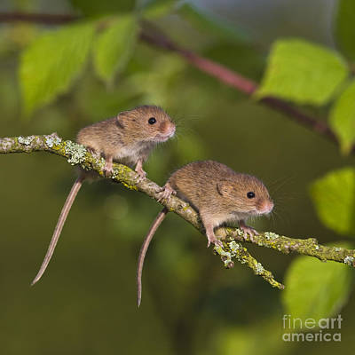 Photograph - Young Eurasian Harvest Mice by Jean-Louis Klein and Marie-Luce Hubert