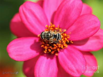 Photograph - Zinnia Named Zahara Raspberry by J McCombie