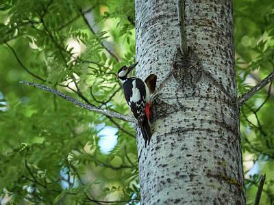 Photograph - Great Spotted Woodpecker by Jouko Lehto