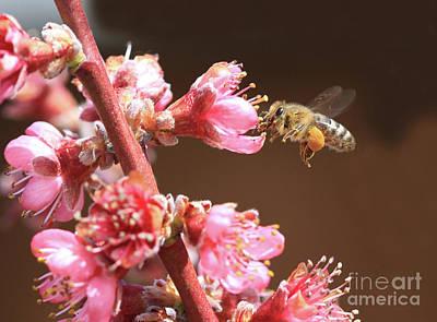 Pollinator Photograph - Honeybee by Gary Wing