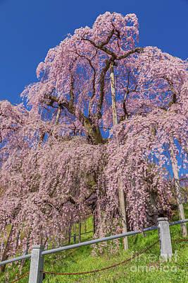 Photograph - Miharu Takizakura Weeping Cherry27 by Tatsuya Atarashi
