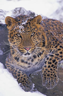 30792d, Amur Leopard, Winter Art Print by First Light