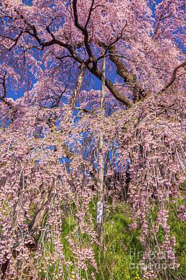 Photograph - Miharu Takizakura Weeping Cherry18 by Tatsuya Atarashi