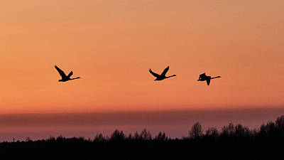 Photograph - Whooper Swan by Jouko Lehto
