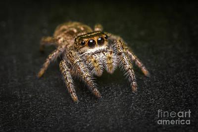 Jumping Spider Macro Art Print