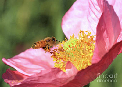 Poppy Wall Art - Photograph - Honeybee by Gary Wing