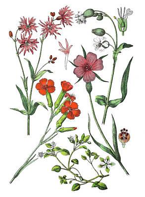 Agrostemma Githago Wall Art - Drawing - Various Medicinal Plants by Bildagentur-online