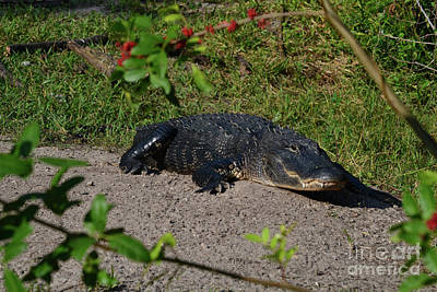 Photograph - 37- American Alligator  by Joseph Keane