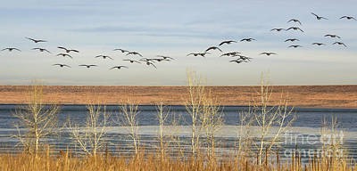 Photograph - 37 Flying Geese by Steven Parker