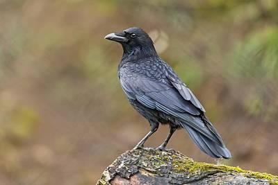 Corvid Digital Art - 375965 Animals Crow Corvid by Anne Pool
