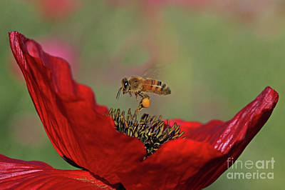 Red Photograph - Honeybee by Gary Wing