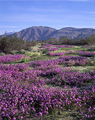 Photograph - 3a6902-v Wildflowers In Anza Borrego Desert State Park by Ed Cooper Photography
