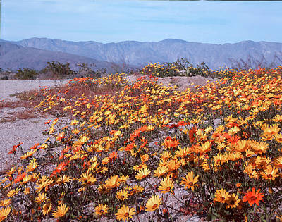 Photograph - 3a6919 Cape Marigold Anza Borrego State Park Ca by Ed Cooper Photography