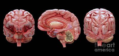 Human Brain Digital Art - 3d Rendering Of Human Brain by Stocktrek Images