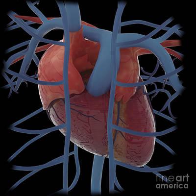 Heart Images Digital Art - 3d Rendering Of Human Heart by Stocktrek Images
