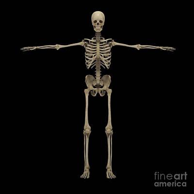 3d Rendering Of Human Skeletal System Art Print by Stocktrek Images