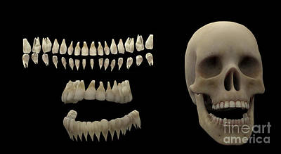 Human Skeleton Digital Art - 3d Rendering Of Human Teeth And Skull by Stocktrek Images