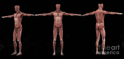 Muscular Digital Art - 3d Rendering Of Male Muscular System by Stocktrek Images