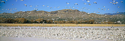 A Panoramic Of Thousands Of Migrating Art Print by Panoramic Images