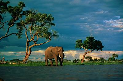 And Threatened Animals Photograph - African Elephant Loxodonta Africana by Beverly Joubert