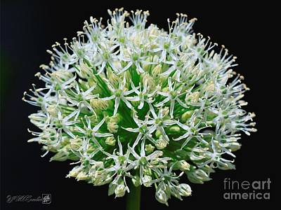Persian Onion Photograph - Allium Named Mount Everest by J McCombie