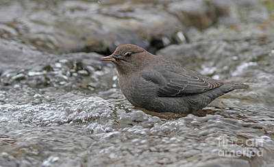 Brown Photograph - American Dipper by Gary Wing