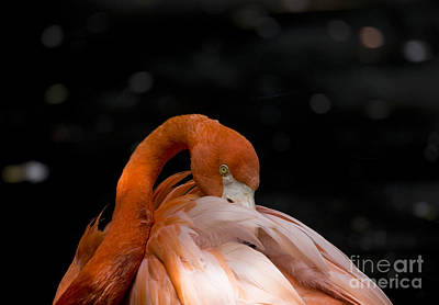 Photograph - American Flamingo by Pietro Ebner