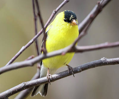 Photograph - American Goldfinch  by Ricky L Jones