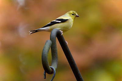 Photograph - American Goldfinch by Robert L Jackson