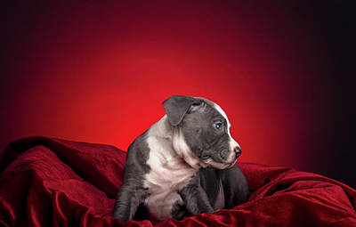 Photograph - American Pitbull Puppy by Peter Lakomy