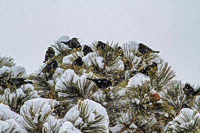 Photograph - 4 And 20 Blackbirds by Alana Thrower