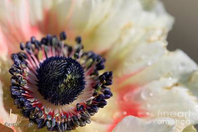 Photograph - Anemone De Caen Named Bicolor by J McCombie
