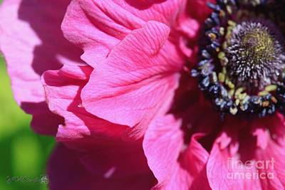 Photograph - Anemone De Caen Named Sylphide by J McCombie