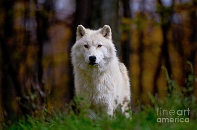 Canine Digital Art - Arctic Wolf by Michael Cummings