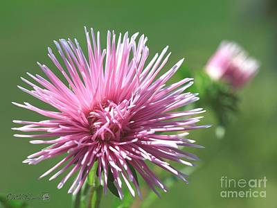 Photograph - Aster Named Unicum Rose by J McCombie