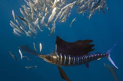 Atlantic Sailfish Istiophorus Albicans Print by Pete Oxford
