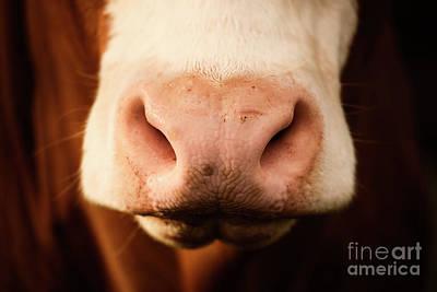 Photograph - Australian Cow by Rob D
