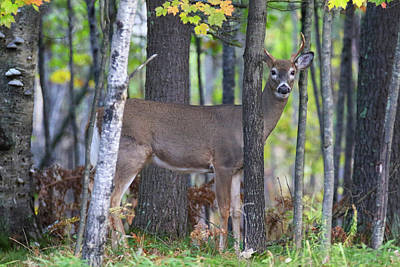 Photograph - Autumn Young Buck by Brook Burling